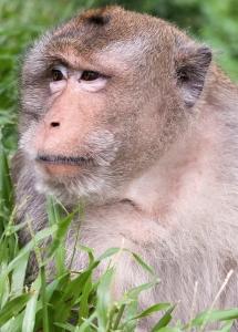 Cambodian Macaque ; the illusive jungle monkey